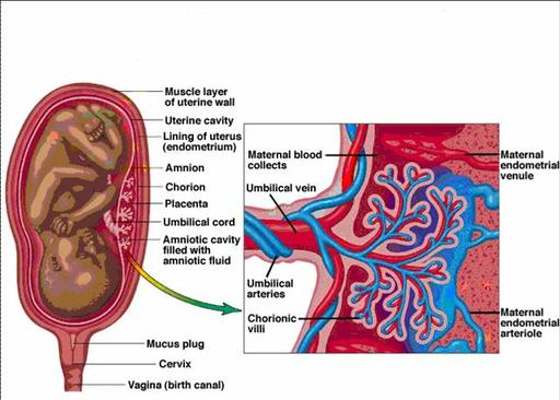 fetal_development